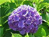 Hydrangea, Purple Hydrangea Seeds - Treasuresbylee - 50