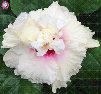 30pcs double flap hibiscus fleur arbre vivace jardin fleurs ...