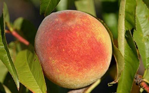 Contender Peach Tree - Hardy - Healthy - Established