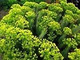 Myrtle Spurge Euphorbia myrsinites (100 Seed)attractive low growing succulent