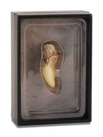(CollectA Prehistoric Life Tooth of Tyrannosaurus Rex in Display Case - Paleontologist Approved Dinosaur Fossil Replica)