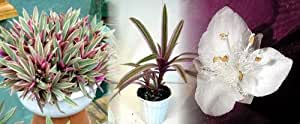 """Hirt's Tricolor Moses in the Cradle Plant - GREAT HOUSE PLANT - 4"""" Pot"""