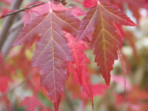 Amazoncom 30 Seeds Of Acer Ginnala Flame Flame Amur Maple