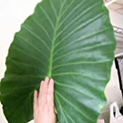 Amazon.com : Humongous 'Thailand Giant' Elephant Ear Plant