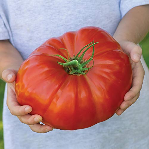 Burpee Exclusive 'SteakHouse' Hybrid | Large Red Beefsteak Slicing 1-3lbs Tomato | 25 Seeds ()