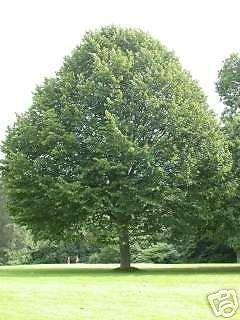 Tilia tomentosa SILVER LINDEN TREE Seeds!