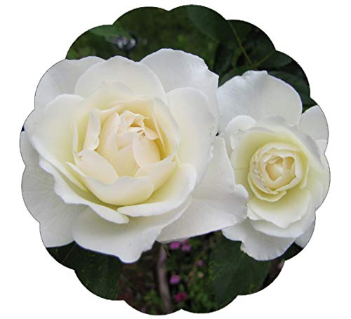 Stargazer Perennials Iceberg Floribunda Shrub Rose Bush - Organic Grown White Rose Container Grown - Non-GMO Easy to Grow ()