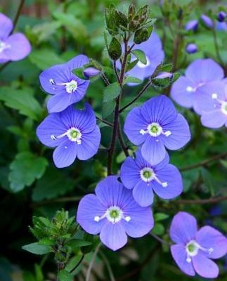 Classy Groundcovers - Veronica peduncularis 'Georgia Blue' (Veronica 'Georgia Blue', V. umbrosa, 'Oxford Blue', 'Cambridge Blue', Speedwell 'Georgia Blue') {25 Pots - 3 1/2 in.}