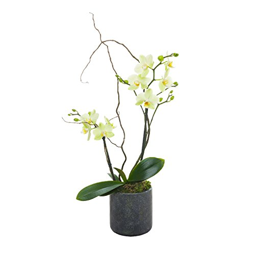 Living Phalaenopsis in Patina Ceramic pot - Petite Light Yellow Blooms