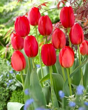 25 Quality Tulip Bulbs - Parade (Bright Red) - Imported from Holland by Boekee's Nursery