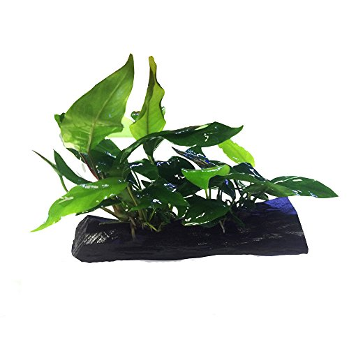 Anubias nana + Minima Live Aquarium Plants on Driftwood for Freshwater Fish Tank by greenpro