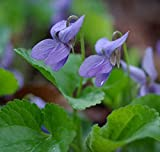 30 Seeds Sweet Violet, Viola Odorata, Organic, Medicinal Herb, Evergreen Perennial, Ground Cover, Purple Flower
