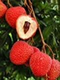 1 Starter Plant of Sweetheart Lychee Tree (air-layered) 3 gal pot
