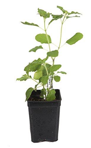 holy-basil-lakshmi-green-tulsi-plant-ocimum-sanctum