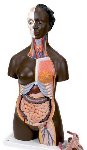 3B社 トルソー解剖模型 アフリカ系人トルソー24分解モデル両性 (b37)   B003Z2TRTK