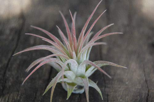 Air Plants Tillandsia Ionantha Assortment 100 Pack #TN01 by Mplant (Image #2)