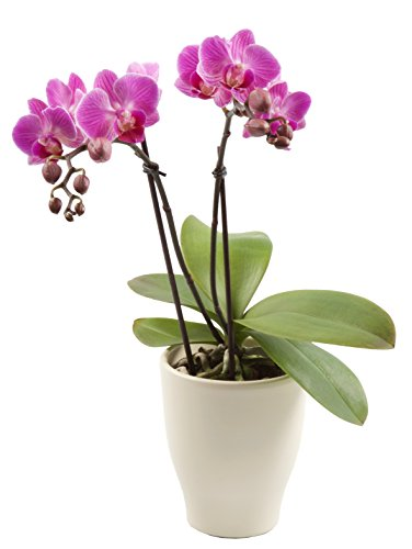 Color Orchids Live Blooming Double Stem Phalaenopsis Orchid Plant in Ceramic Pot, 15-20 Tall, Pink Blooms