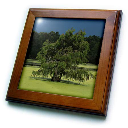 - 3dRose Stamp City - Nature - Photo of Cypress Tree Growing in The Marsh at Magnolia Plantation. - 8x8 Framed Tile (ft_295294_1)