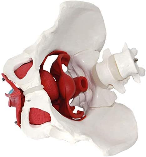 Education Basin Model Female Pelvic Floor Muscles From And Organs, Muscles Anatomische Modelle Laborbedarf Removable Organs Include Uterus, Colon From And The Bladder