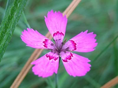 550 MAIDEN PINKS Dianthus Deltoides Flower Seeds