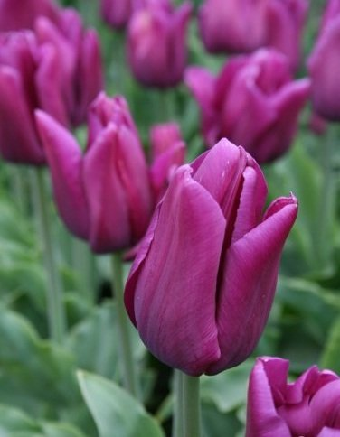 25 Quality Tulip Bulbs - Passionale Purple - Freshly Imported from Holland by Boekee's Nursery