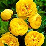 Kasuki Sale!10 Pcs/Lot Paeonia Lactiflora Flores Heirloom Tree Peony plantas Hardy Perennial Bonsai Plant Home Garden Potted Flowers,#N - (Color: 3)