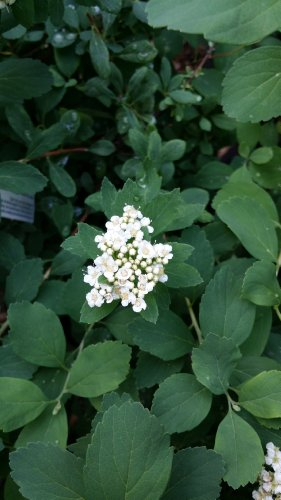 'TOR' SPIREA,in gallon pot, birch like leaf, small white flowers,cold hardy-great hedges/border (Hydrangeas Shrub, Evergreens, ()