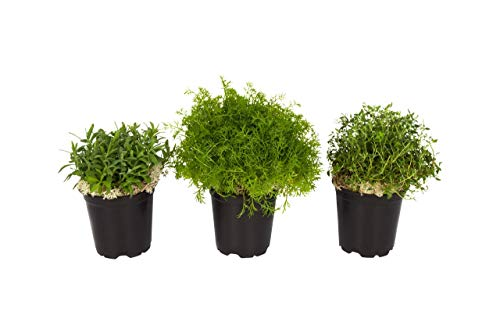 "The Three Company Aid Live Aromatic 4.5"" Herb Combo (Lavender, Rosemary, Mint), 1 Pint Pot, Deeper Sleep"
