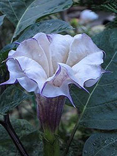 White Moon Flower Seeds Night Bloomer 15 Seeds per Package #4174