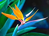 New Bird Of Paradise , TROPICAL / House Plant , Orange Flower , Strelitzia Reginae 8 Seeds !
