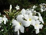 "26"" TALL Plumeria Pudica Bridal Bouquet White Frangipani Flower Plant"