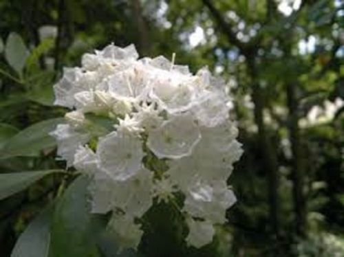 Mountain Laurel Shade - Kalmia LATIFOLIA 'Pristine' - Mountain Laurel - Starter Plant