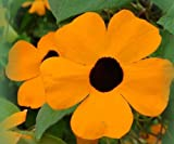 Black Eyed Susan Vine 30 Seeds Thunbergia