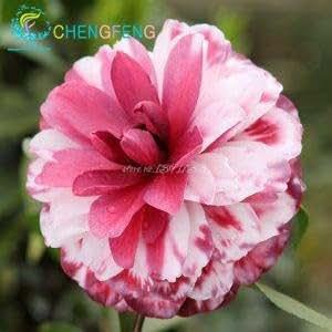 50 PC / bolso colorido de la camelia Semillas Semillas increíble flor de DIY plantas en macetas de interior Semilla / bote al aire libre germinación tasa de 95%