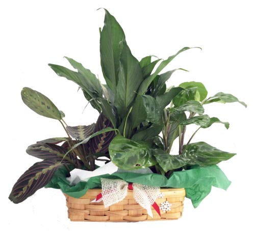 (Red & Green Prayer Plant, Peace Lily in Holiday Wicker Basket - 10