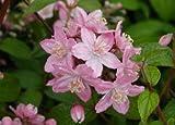 Deutzia Rosalind (Deutzia X elegantissima 'Rosalind')