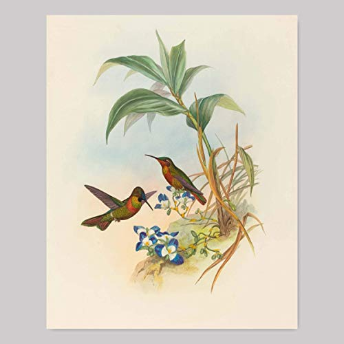 Hummingbird Art (John Gould Birds Artwork, Cottage Style Bird Print, Bedroom Wall Decor)