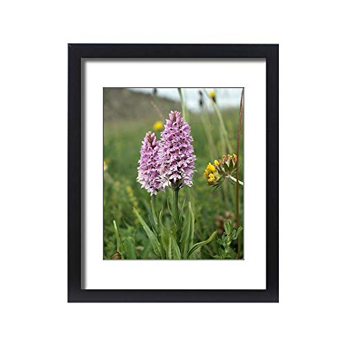 Media Storehouse Framed 20x16 Print of Common Spotted Orchid K991351 ()