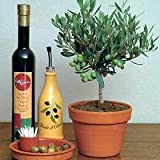 9GreenBoxs: Olive Tree 25 Seeds - Olea europaea - Great Houseplant