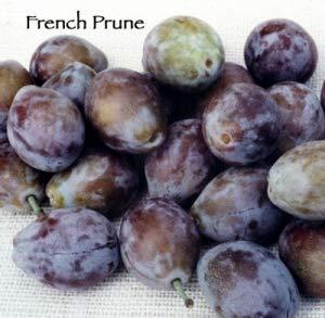 - French Prune Plum Tree - 2 Year Old 4-5 Feet Tall