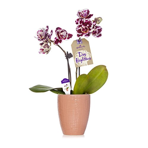 Hallmark Flowers Petite Purple Speckled Orchid in 2.5-Inch Pink Ceramic Container