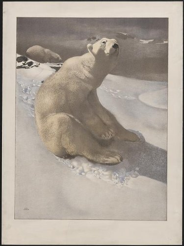 (Photo Reprint A polar bear seated on snow and another polar bear walking in background 1900)