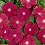 Outsidepride Periwinkle Rose - 2000 Seeds