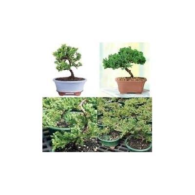 Bonsai Junpier Tree Green Mound Plant Live Garden Flowers Outdoor Bset Gift New: Garden & Outdoor