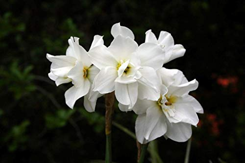 (Double Poet's Daffodil 5 Bulbs - 11/+ cm Bulbs - Narcissus Albus plenus)