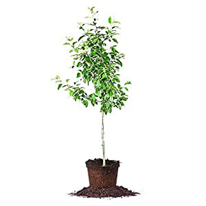 Ein Shemer Apple Tree - Size: 5-6', live plant,  includes special blend fertilizer & planting guide