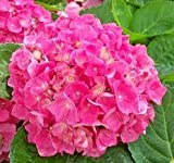 (1 Gallon ) RED Cardinal Hydrangea , Glorious Red Hydrangea, Very Big reddish pink Blooms,