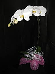 1 Blooming / Budded FLOWERING Phalaenopsis Orchid PLANT-ADDS ELEGANT & STYLISH DECOR- Perfect Gift for any occasion