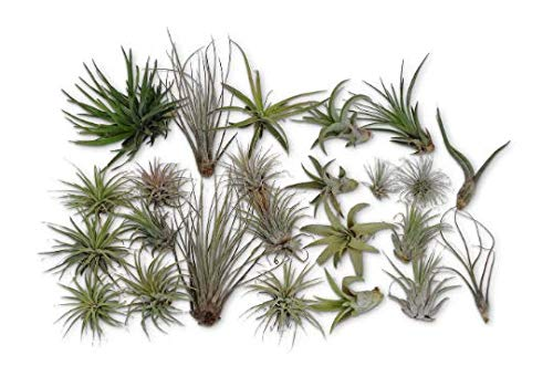 CTS Air Plants 24 Pack Tillandsia Assortment Air Plants As is by CTS Air Plants