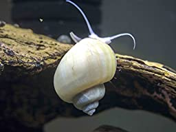 DELUXE Mystery Snail COMBO PACK (Pomacea bridgesii - LARGE live snails! 1/2 to 2+ inches) - 1 Gold, 1 Blue, 1 Black, 1 Albino, 1 Ivory Mystery Snail (Algae-eaters) by Aquatic Arts